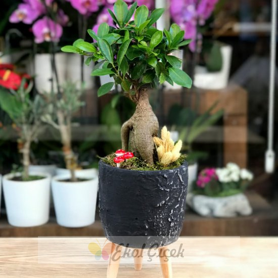 Ficus Bonzai