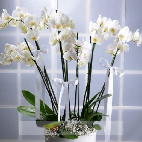 8 Ballı Beyaz Orkide