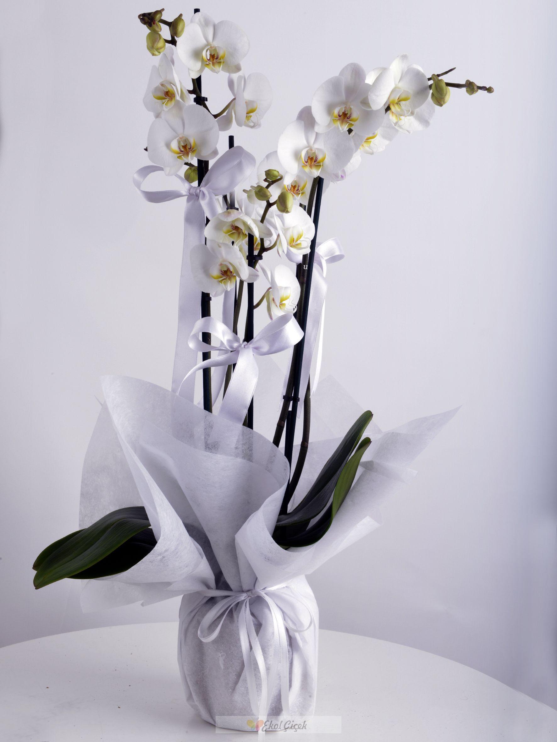 Samsun Dörtlü Beyaz Orkide