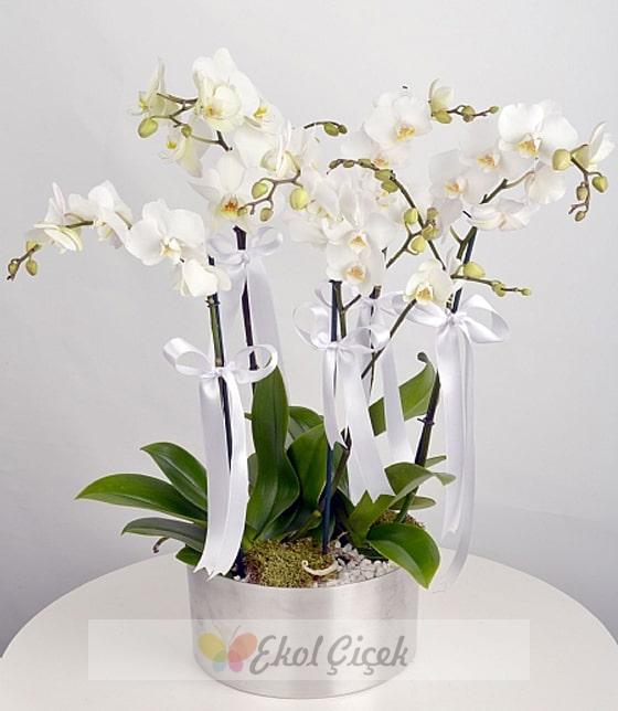 Beşli Beyaz Orkide