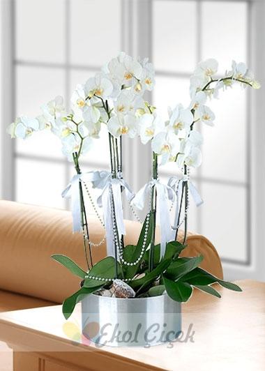 5 li Orkide