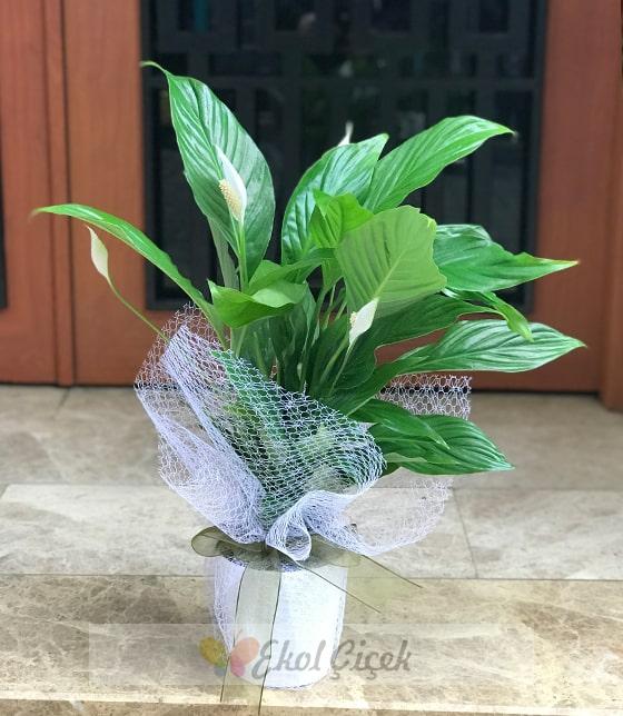 Barış Çiçeği Spatifilyum