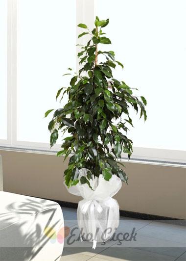 Ficus Daniel - Benjamin Saksı Çiçeği