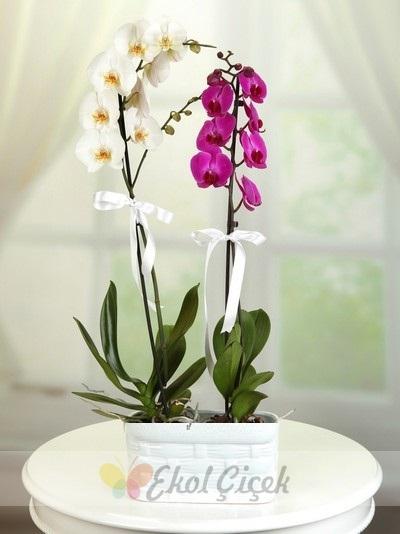 Beyaz Mor Orkide