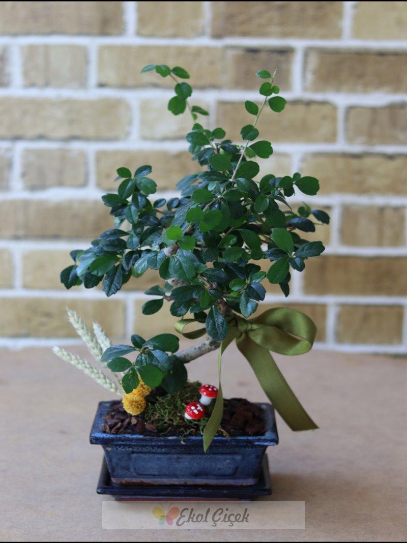 Samsun Bonsai Ağacı