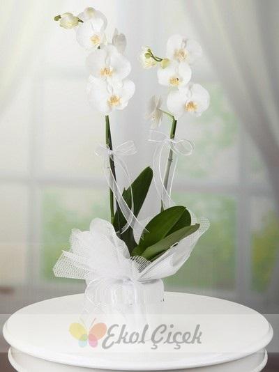 Çift Köklü Orkide