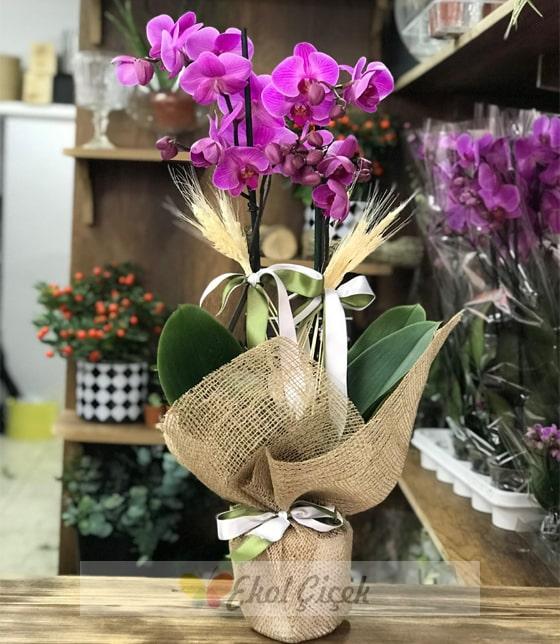 Samsun ikili mor orkide