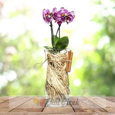 Vazoda Mini Orkide