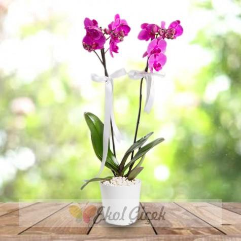 Samsun İkili mor orkide