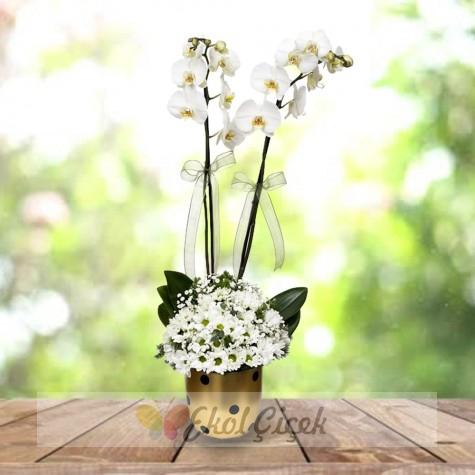Orkide ve Papatyalar
